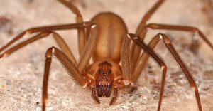 Кориченвый паук отшельник